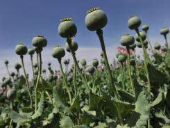 Opium poppy buds are seen in a field April 24, 2011, in Habibullah village in Helmand province, Afghanistan.
