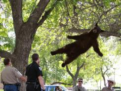 A bear that wandered onto the University of Colorado Boulder campus falls from a tree after being tranquilized by Colorado wildlife officials on Thursday.