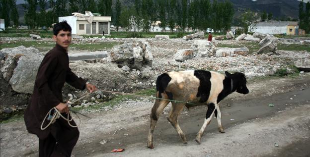 A local resident walks along with his cow beside the rubble of the demolished compound of slain al-Qaeda leader Osama bin Laden in Abbottabad on Tuesday.