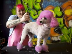 Lori Chatelain, a creative groomer, does the final trimming to Techno's new haircut at The Dog Salon in Charlotte, N.C.