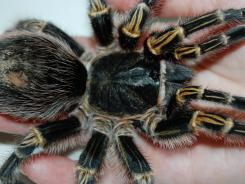 Phobic adults in a study were able to hold a tarantula after a single therapy session.