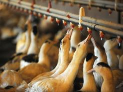 Ducks drink water at Hudson Valley Foie Gras farm in Ferndale, N.Y., one of the nation's few foie gras producers.