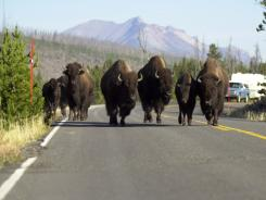 A group of buffalo, also known as American bison, block a lane of traffic in Yellowstone National Park in this 2003 file photo.