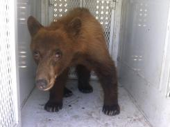 A black bear that wandered onto school property during a Bakersfield school graduation is shown before being released in Kern County, Calif.