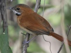 A Hoary-throated Spinetail perches on a branch near the Takutu River on the border between Brazil and Guyana.