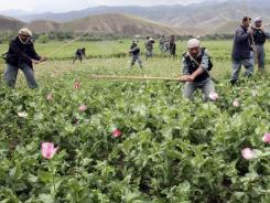 Afghan security forces conduct a poppy eradication operation in Baghlan province, Afghanistan, on June 1.