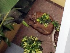 A mountain lion lounges in an office courtyard last month in Santa Monica, Calif.
