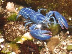 Toby, a rare blue lobster like this one caught in 2005 off the Rhode Island coast, will be donated to the National Aquarium in Washington.