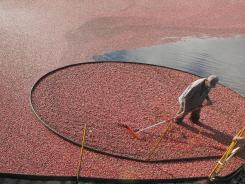 Miguel Sandel rakes cranberries into a loading tube during an afternoon harvest in Carver, Mass.