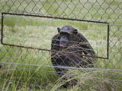 A chimpanzee sits in an enclosure at the Chimp Eden rehabilitation center, near Nelspruit, South Africa.