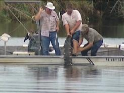 An alligator that attacked a swimmer is pulled from the water after it was killed Monday in the Caloosahatchee River near Moore Haven, Fla.
