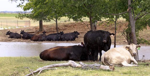 Cows seek refuge from the heat near a drought-stricken pond in Paoli, Okla., on Thursday.