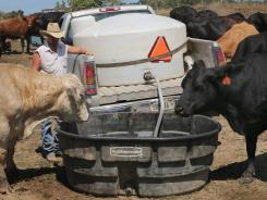 Thirsty cattle: July was the 329th consecutive month in which the global temperature exceeded the 20th century average.