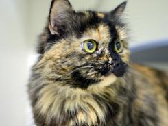 City kitty: Deena, 2, is up for adoption in New York City but may be looking at a long wait.