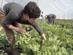 Annie Myers harvests greens for Good Eats CSA (Community Supported Agriculture) in Craftsbury, Vt. Local food is popular in Vermont, which is the top state in a Locavore Index.