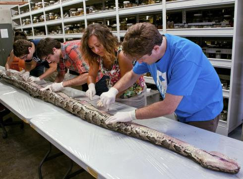 python found in Florida to date, on the University of Florida campus