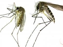 A Culex pipiens, left, is the primary mosquito that can transmit West Nile virus to humans. The Aedes vexans is primarily a nuisance mosquito.