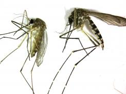 Culex pipiens, left, is the primary mosquito that can transmit the West Nile virus to people. Aedes vexans is primarily a nuisance mosquito.