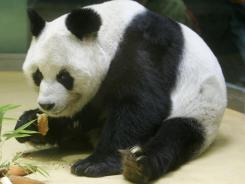 Bao Bao eats a cake he received for his 25th anniversary at the Berlin zoo in 2005.