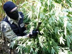 An undercover narcotics dtective with the Indiana State Police cuts down marijiuana plants growing in a cornfield. This particular field had approximately 30 plants with a street value of about $1,000 per plant.