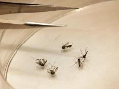 Mosquitoes are sorted on Aug. 16 at a lab in Dallas. The city and county dropped insecticide from the air to combat the West Nile virus.