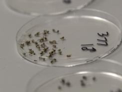 Dead mosquitoes are lined up to be sorted Aug. 16 at the Dallas County mosquito lab.