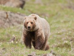 A grizzly bear forages for food next to the Denali National Park Road in this 2009 file photo.