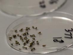 Dead mosquitoes are lined up to be sorted Aug. 16 at a Dallas County lab. West Nile virus cases are up 40% since last week.