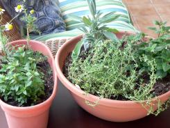 Healthful herbs like chocolate peppermint and chamomile are on the left. French thyme, sage and lemon balm are on the right.