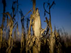 Severely damaged corn stalks in Oakland City, Ind.