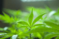 Marijuana plants grow in a horticulture lab in Oakland Voters rejected a move to make it legal for recreational purposes.