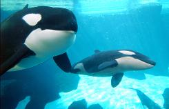 Nature vs. man: The Labor Department's Occupational Safety and Health Administration is scrutinizing interactions between killer whales and their trainers.