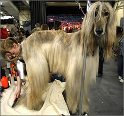 An Afghan Hound is elegant, athletic, aloof and fast, reminding David Frei of Patriots receiver Randy Moss.