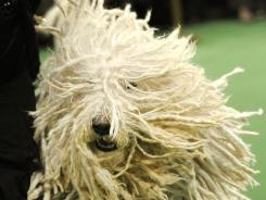 A Komondorok competes in the judging ring during the 136th Westminster Kennel Club Annual Dog Show held at Madison Square Garden on Tuesday in New York.