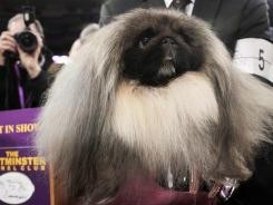 Malachy, a Pekingese, sits in the trophy after being named Best in Show at the 136th annual Westminster Kennel Club Dog Show in New York on Tuesday night.