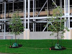 Freshly-planted trees stand outside Beaver Stadium where a statue of Joe Paterno once stood.