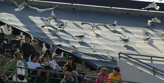 The A's cover most of the Oakland Coliseum's third deck with tarp, reducing its seating capacity for baseball to 35,067.