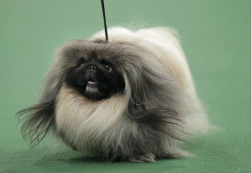 Kennel Club Puppies on Westminster Kennel Club Dog Show   Usatoday Com Photos