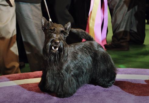 ... Picked As Westminsters Top Dog Usatodaycom | Dog Breeds Picture