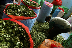 A man fills bags with coca leaves at the coca market in La Paz, Bolivia. A Bolivian official said scientists are studying the possible medicianl benefits of the coca leaf, a plant that is the chief ingredient of cocaine.