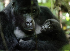 A female mountain gorilla and her five month old son in the Kahuzi Biega Nature Park in the Democratic Republic of Congo. Rebels in eastern Congo killed and ate two silverback mountain gorillas in Jan., conservationists said.