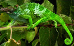 A two-horned chameleon in Tanzania.