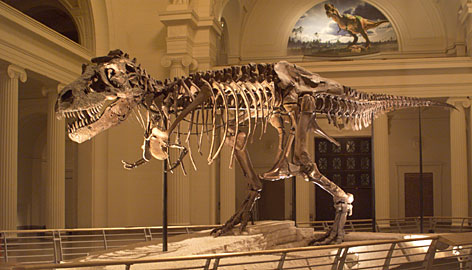 A fossil of the 67-million-year-old T. Rex 'Sue,' on display at the Field Museum in Chicago. Researchers have analyzed proteins preserved in a T. Rex bone.