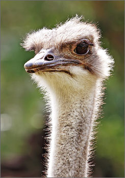 The consensus is ostriches can swim, even though they don't seem the type.
