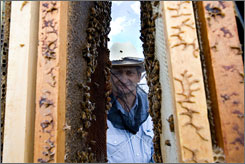 Beekeeper David Hackenberg first reported what is now called colony collapse disorder in November. ?You would pull dead bees apart, and their guts were full of pollen.?