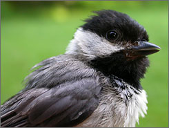 The chickadee population in the United States is dramatically declining because of the West Nile virus.