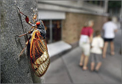 An adult cicada climbs a tree in Princeton, N.J., in this 2004, file photo. The red-eyed, shrimp-sized, flying insects, which should be appearing soon, don't bite or sting. But they are known for mating calls that produce a din that can overpower ringing telephones, lawn mowers and power tools.