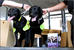 Malaysia hopes to obtain special dogs trained in Ireland to sniff out bootlegged DVDs. The dogs will form the government's first canine anti-piracy unit and be a permanent replacement for Lucky and Flo, seen here, two Labradors trained in Ireland that have been on temporary loan to Malaysia.