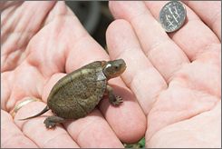 A Beal's four-eyed turtle, hatched June 9, is a new addition to the Tennessee Aquarium.