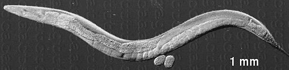 The simple structure of Caenorhabditis elegans, more commonly known as the roundworm.